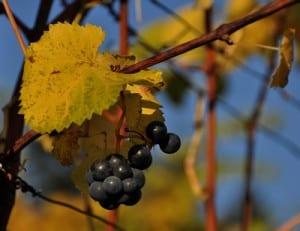 Der Weinjahrgang 2013 könnte wegen geringerer Ernteerträge mancherorts etwas teurer werden. Foto: berggeist007  / pixelio.de