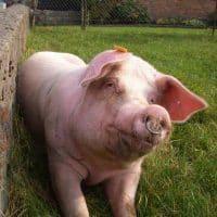 Glückliches Schwein in Freilufthaltung